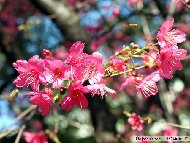 明媚春光下恣意綻放的緋寒櫻(山櫻花)