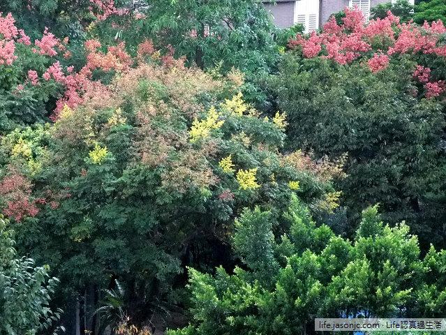 秋天的氣息:台灣欒樹