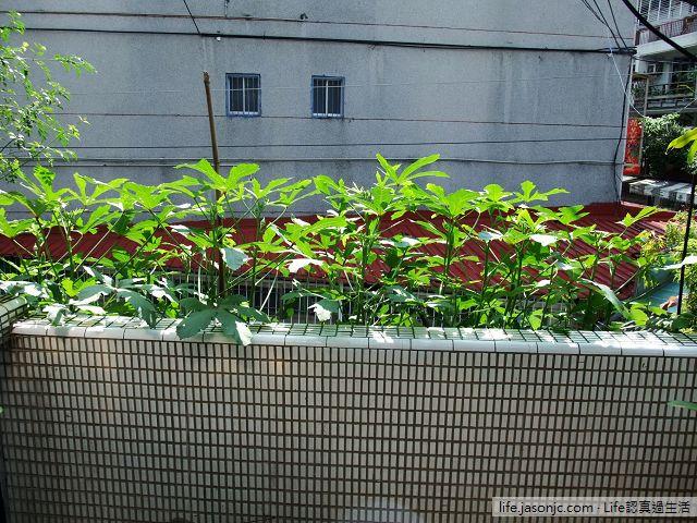 陽台種秋葵,像是傑克魔豆般地向上飛竄