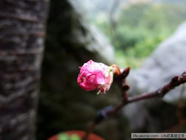 山櫻花和楓葉@花岩山林 | 新北市三峽區