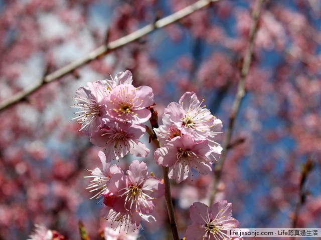 武陵農場紅粉佳人 | 台中和平