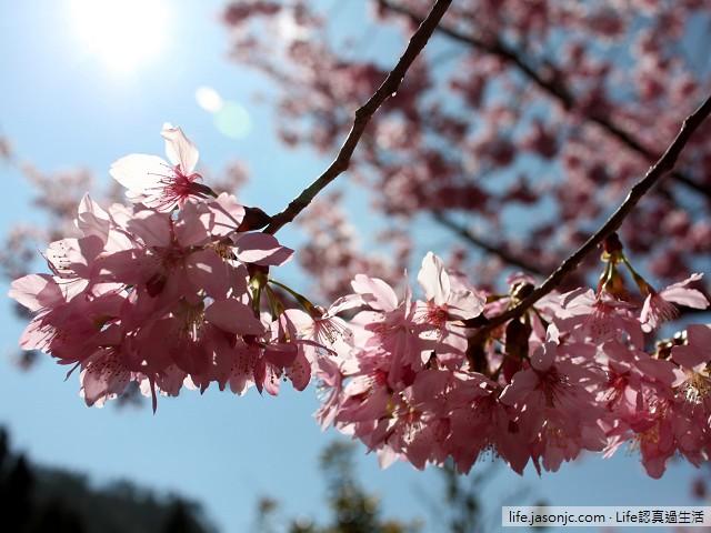 武陵農場昭和櫻 | 台中和平