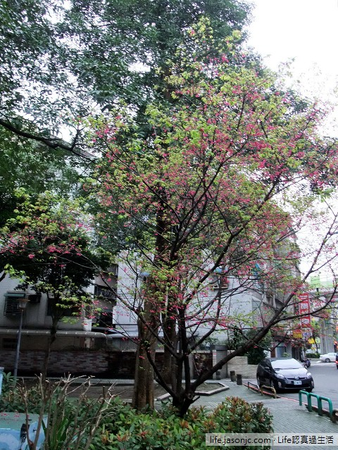 綿綿細雨過後綠葉環繞的山櫻花