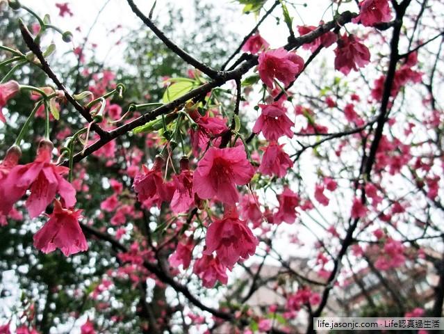 綿綿細雨過後,綠葉環繞的緋寒櫻(山櫻花)
