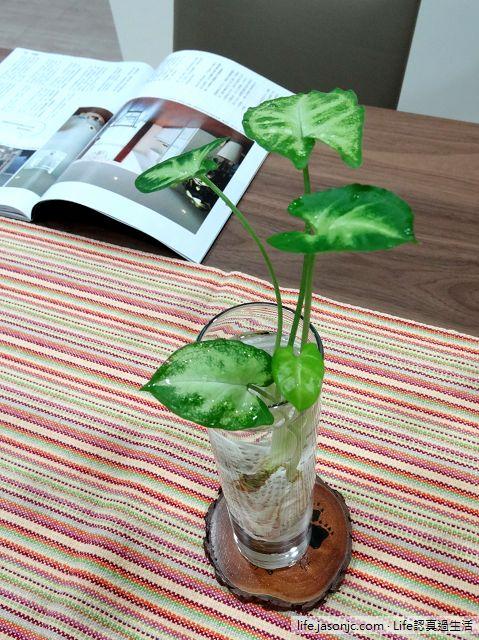 能淨化空氣的鴨掌狀觀葉植物:合果芋,水耕繁殖超容易