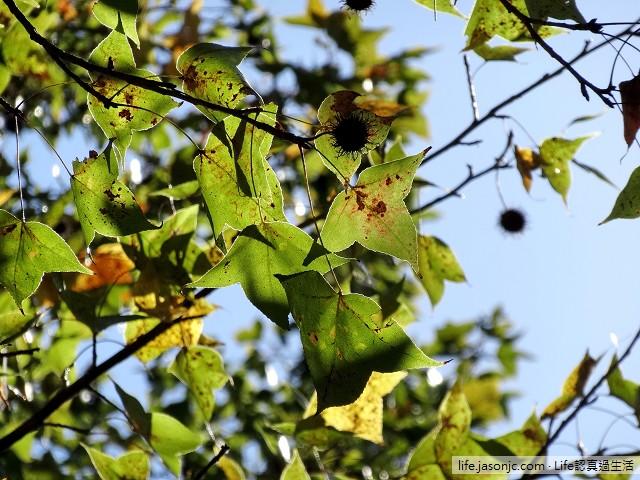 樹梢上的小精靈:楓香果實 | 台北中正 台大校園