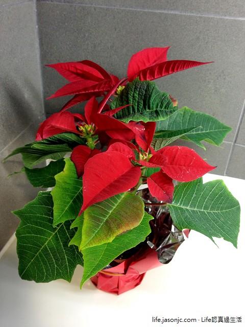 用聖誕紅裝飾繽紛聖誕節