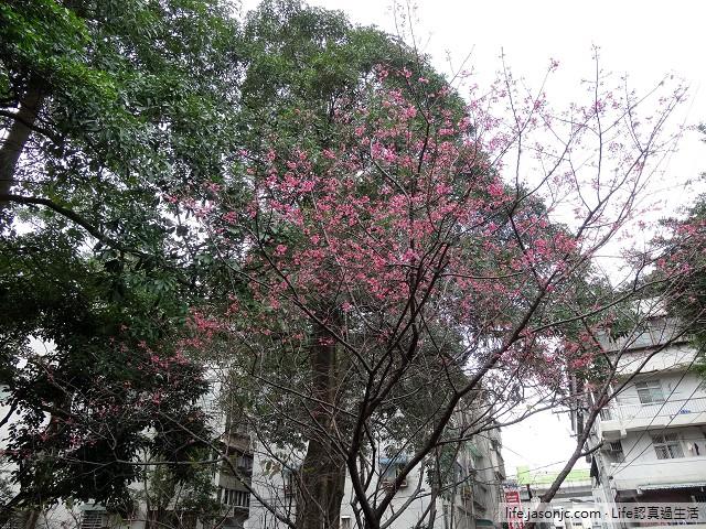 最早報到的櫻花:緋寒櫻 (霧社種山櫻花)