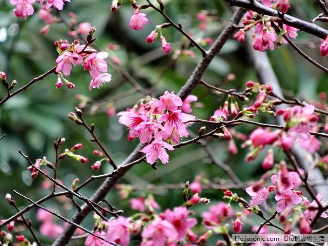 最早報到的櫻花:緋寒櫻(霧社種山櫻花)