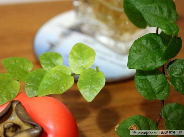 水耕爬牆植物:薜荔小盆栽