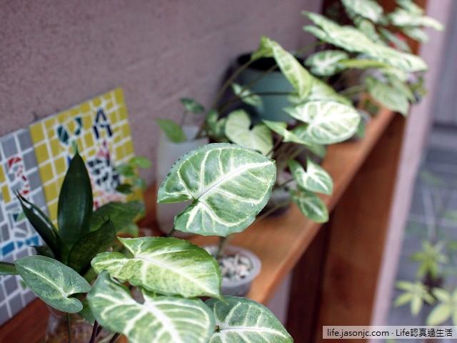 DIY種植鳳梨、山蘇、薜荔和水耕合果芋