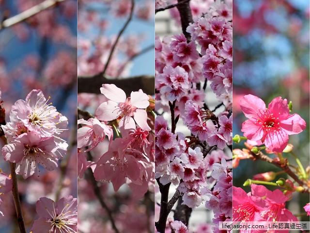 台灣櫻花花期