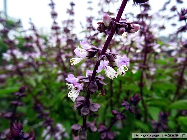 紫莖九層塔自己動手種